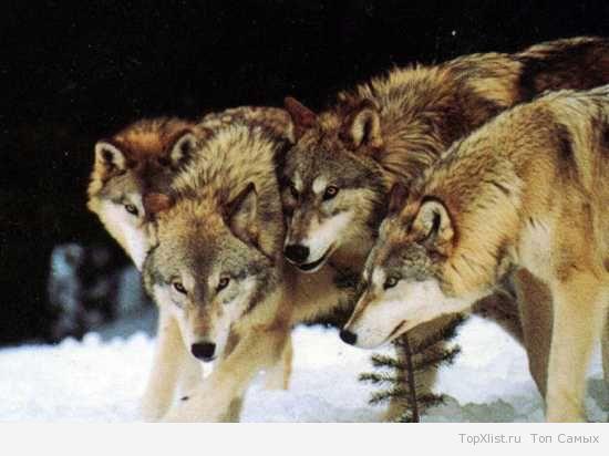 Эти удивительные волки статья фото