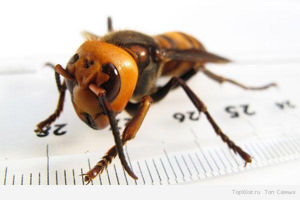 самая большая насекомое в мире фото