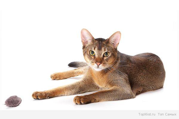 как мяукают абиссинские коты