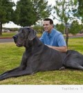 Самая большая собака в мире Большой Джордж